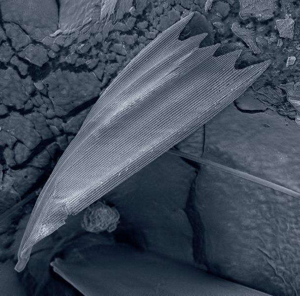 Чешуйка крыла бабочки
